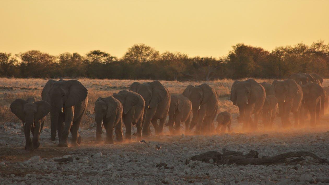 Free stock photo of africa, dust, elephants