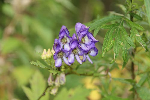 Free stock photo of Aconitum, flowers, forest