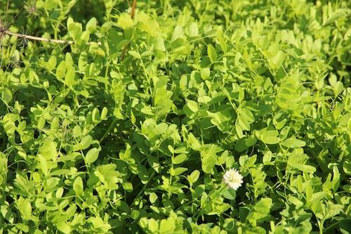 Free stock photo of eco, fabaceae, fertilizer
