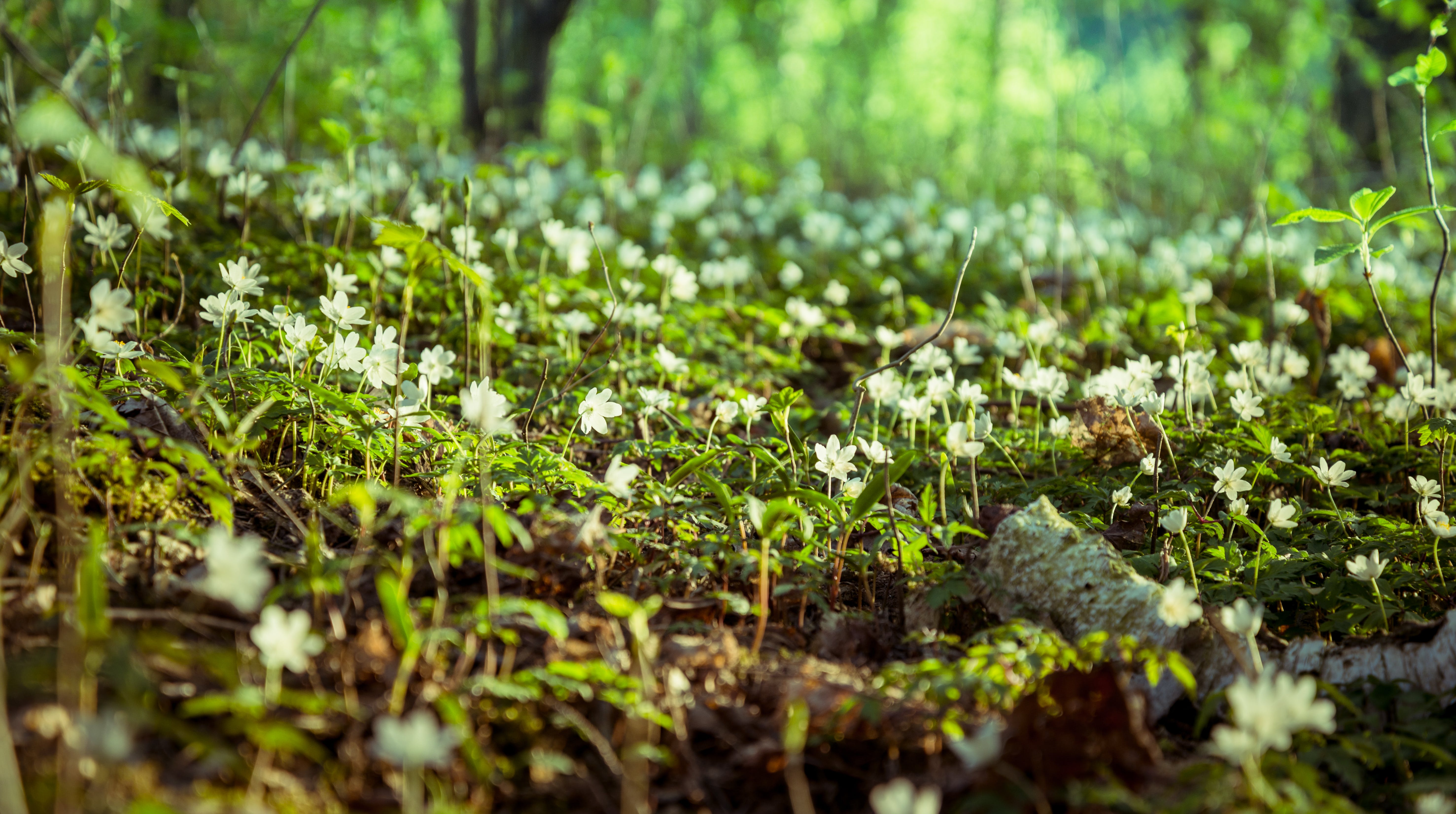 Free stock photo of background, beautiful flowers, dead trees, forest
