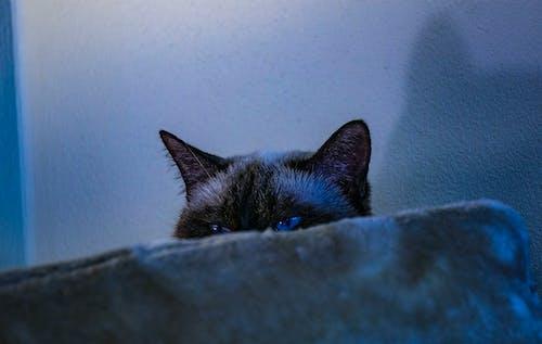 Ảnh lưu trữ miễn phí về chụp ảnh động vật, con mèo, mắt xanh