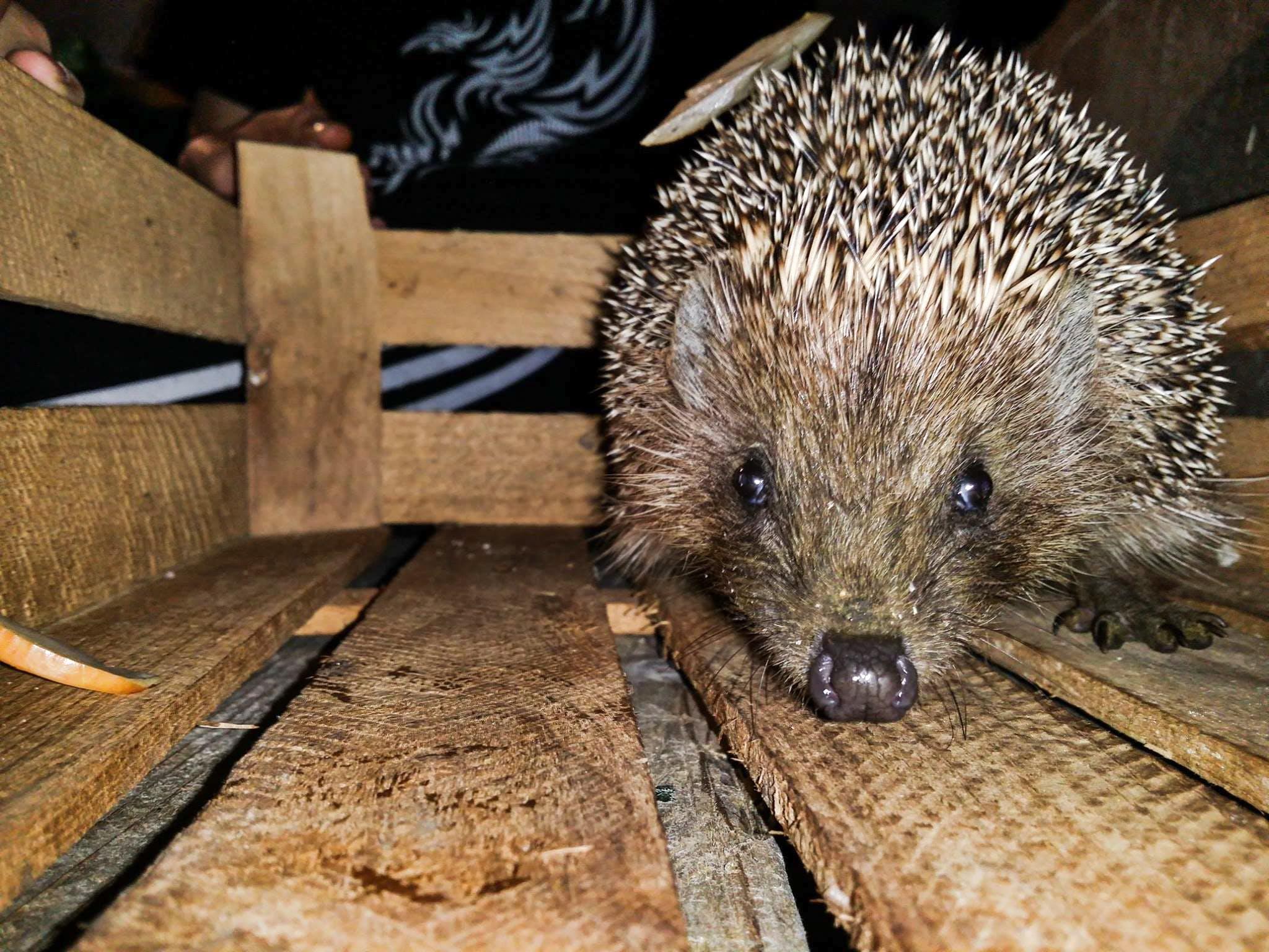 Free stock photo of night, hedgehog