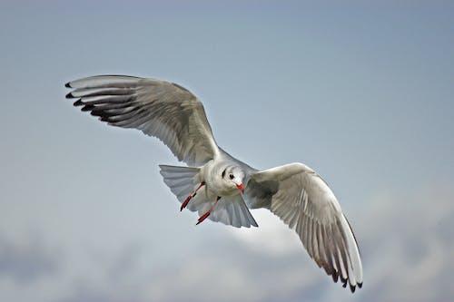 Základová fotografie zdarma na téma fotografování zvířat, létání, racek, zvíře