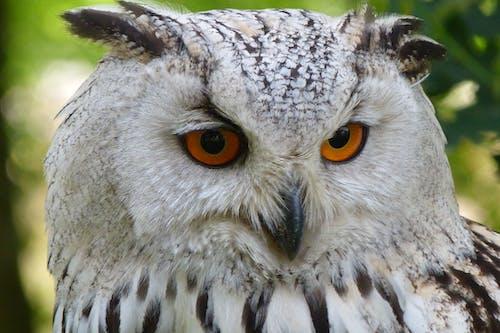 Gratis lagerfoto af close-up, dyr, dyrefotografering, stor hornugle
