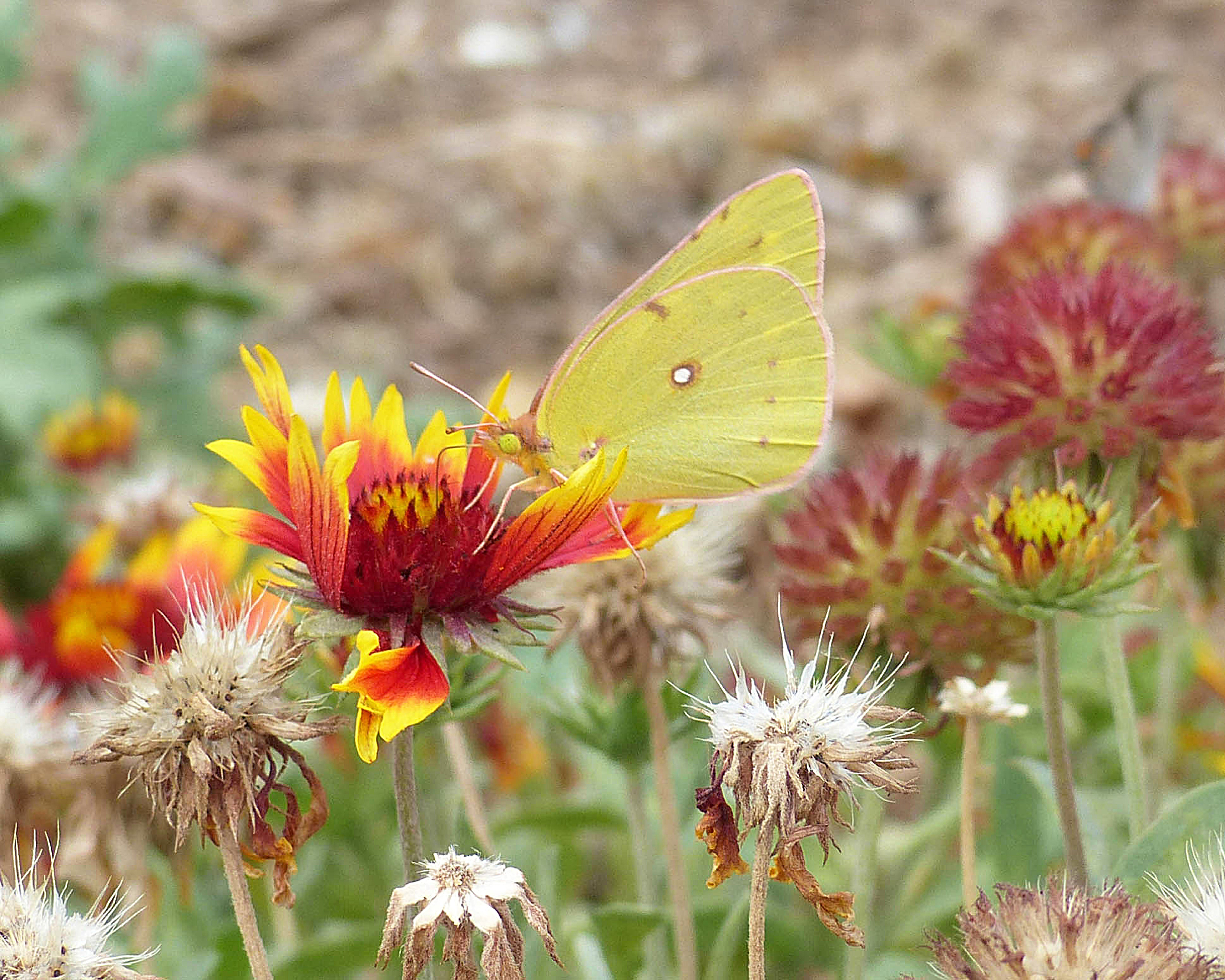 Free stock photo of beautiful flowers, butterfly, moth