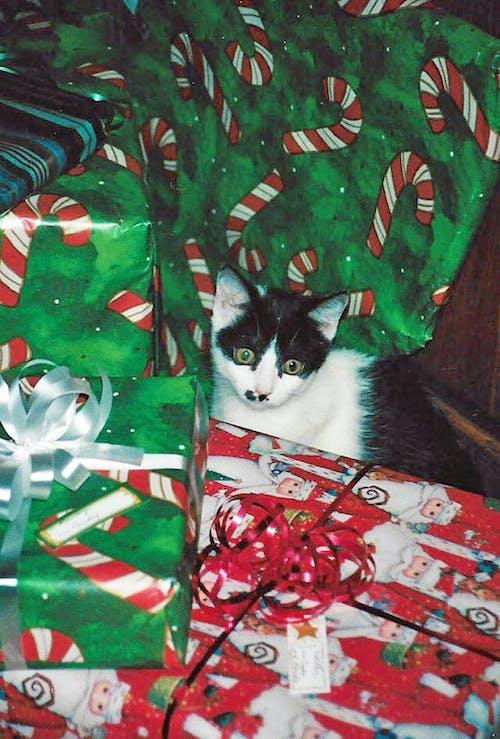 クリスマス, ネコの無料の写真素材