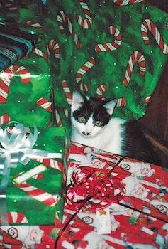 Free stock photo of christmas, cat
