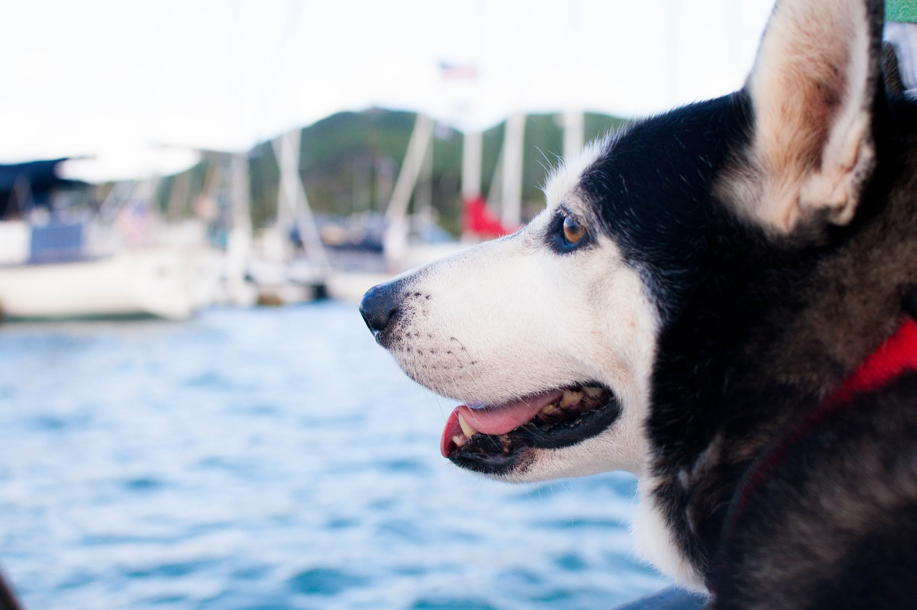 Siberian Husky Near Ocean at Daytime