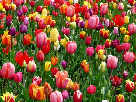 1000 beautiful spring flowers photos pexels free stock photos red purple and yellow tulip fields mightylinksfo