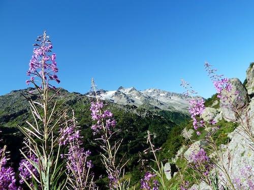 Gratis lagerfoto af bjerge, blomst, blomster, flora