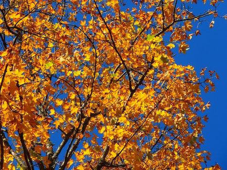 Free stock photo of yellow, leaves, tree, autumn