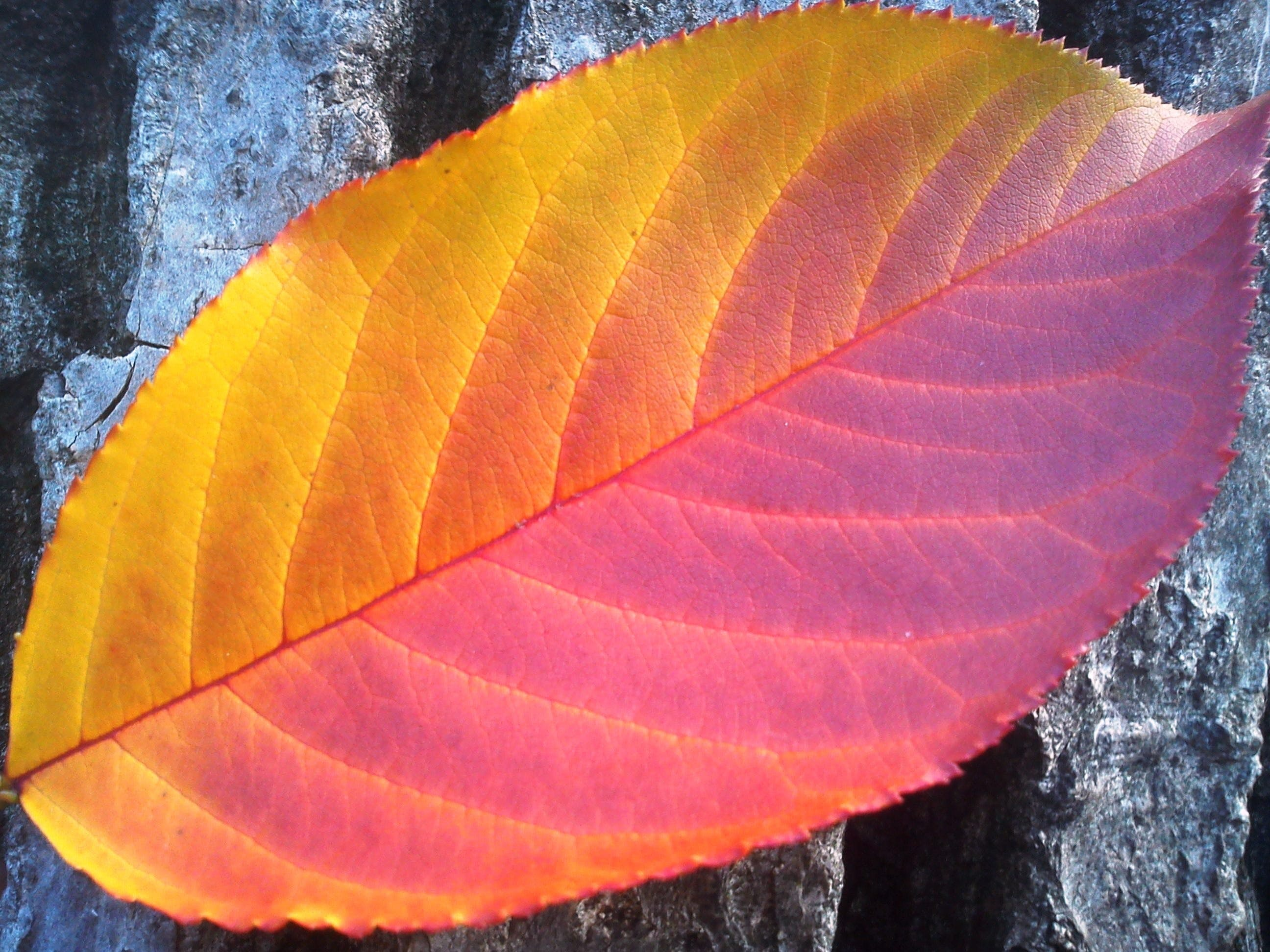 Yellow and Purple Leaf