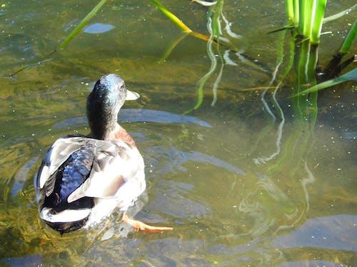 Free stock photo of duck bird, garden pond, pond