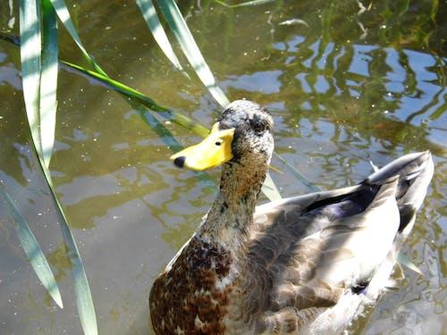 Free stock photo of duck bird, hello, light reflections