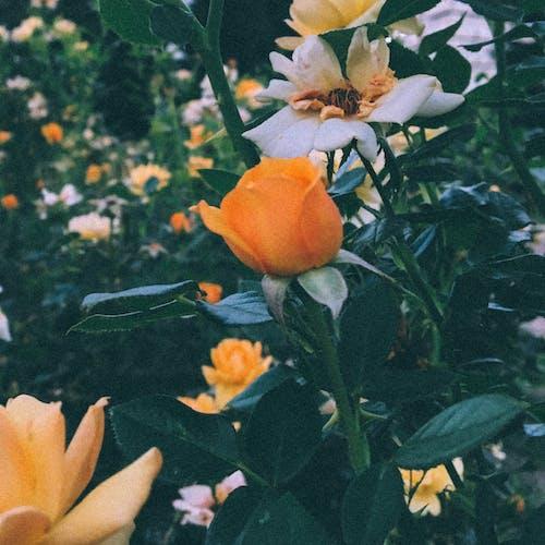 Fotos de stock gratuitas de flor, flores, naranja