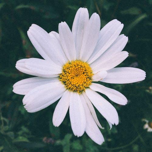 Fotos de stock gratuitas de amarillo, blanco, flor