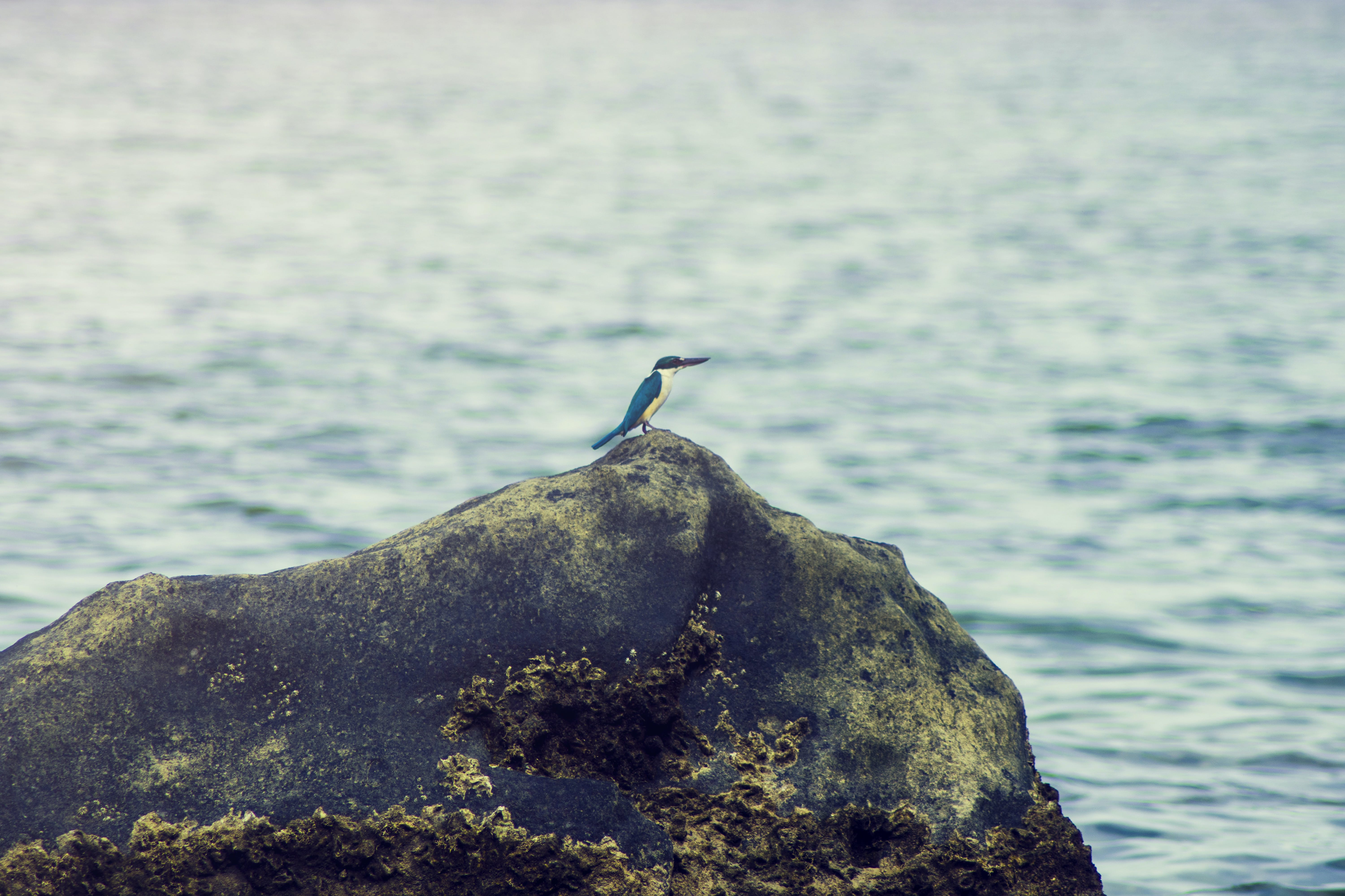 King Fisher on the Rock Near Body of Water