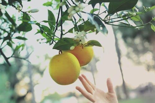 Free stock photo of citrus, citrus fruit, food