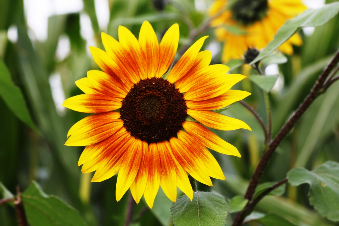 cận cảnh, cánh hoa, hạt giống