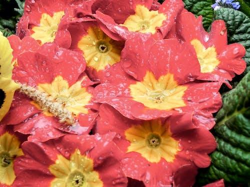 咲く, 尋常性プリムラ, 明るい色, 水滴の無料の写真素材