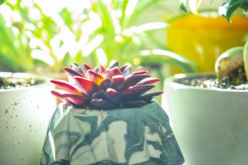 คลังภาพถ่ายฟรี ของ ต้นกระบองเพชร, พืชประดับในบ้าน, พืชสีแดง