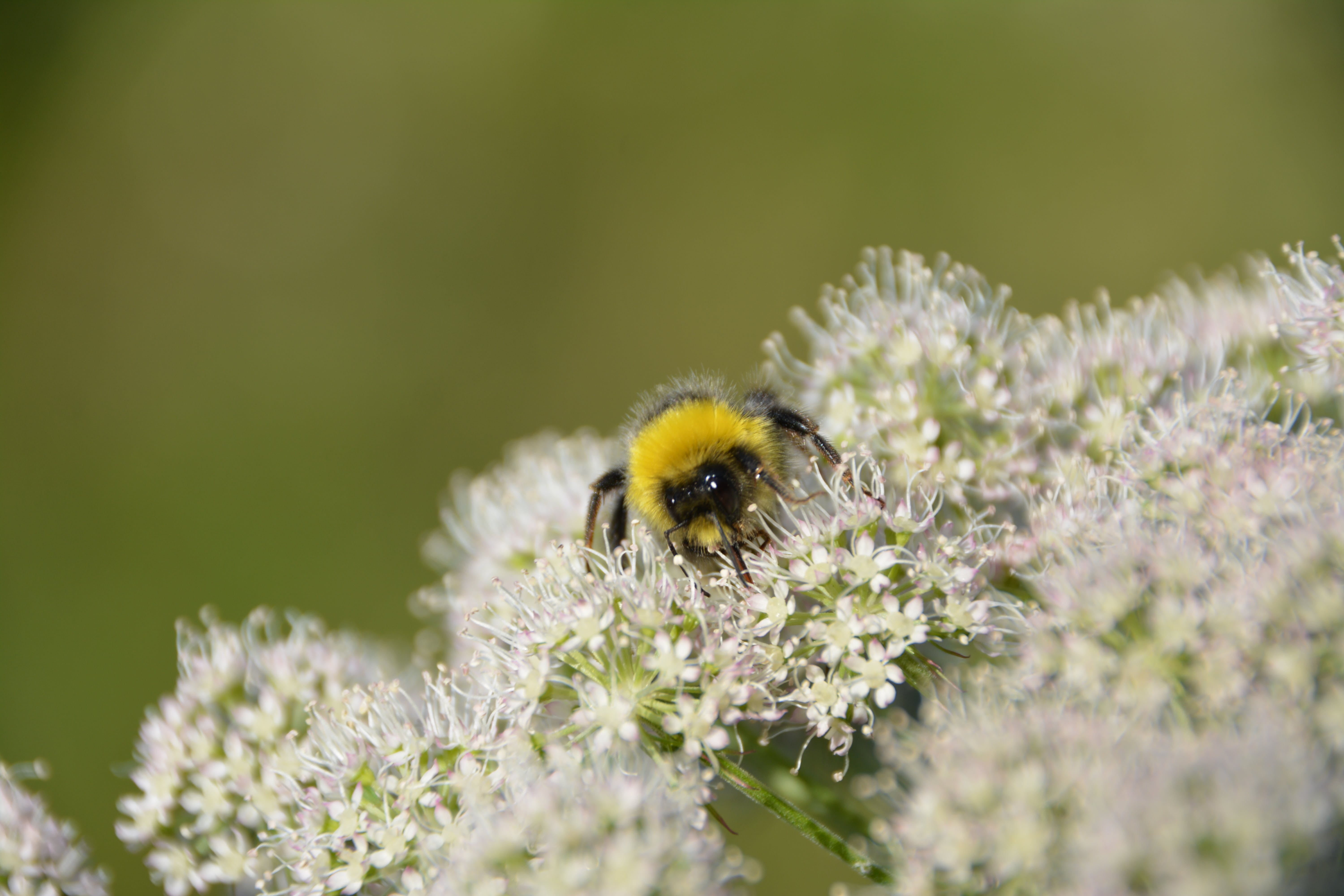 Bumble Bee on White Flowers