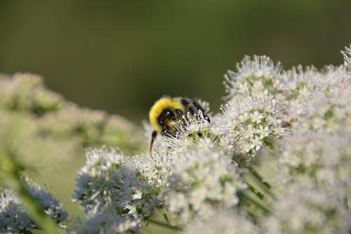 Δωρεάν στοκ φωτογραφιών με macro, καλοκαίρι, λουλούδι, μέλισσα