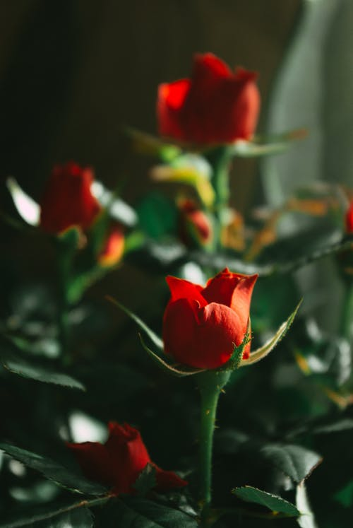 Blooming roses on thin stems with thorns