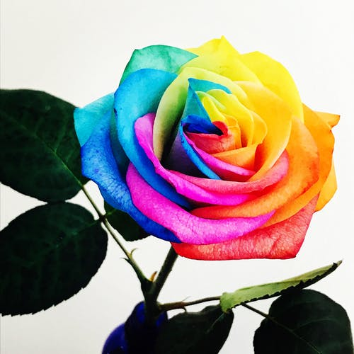 Free stock photo of bright colours, flower, multi coloured, rose