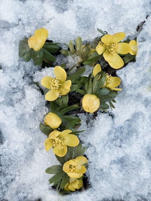 Free stock photo of b utter cup, eranthis hyemalis, flowering plant