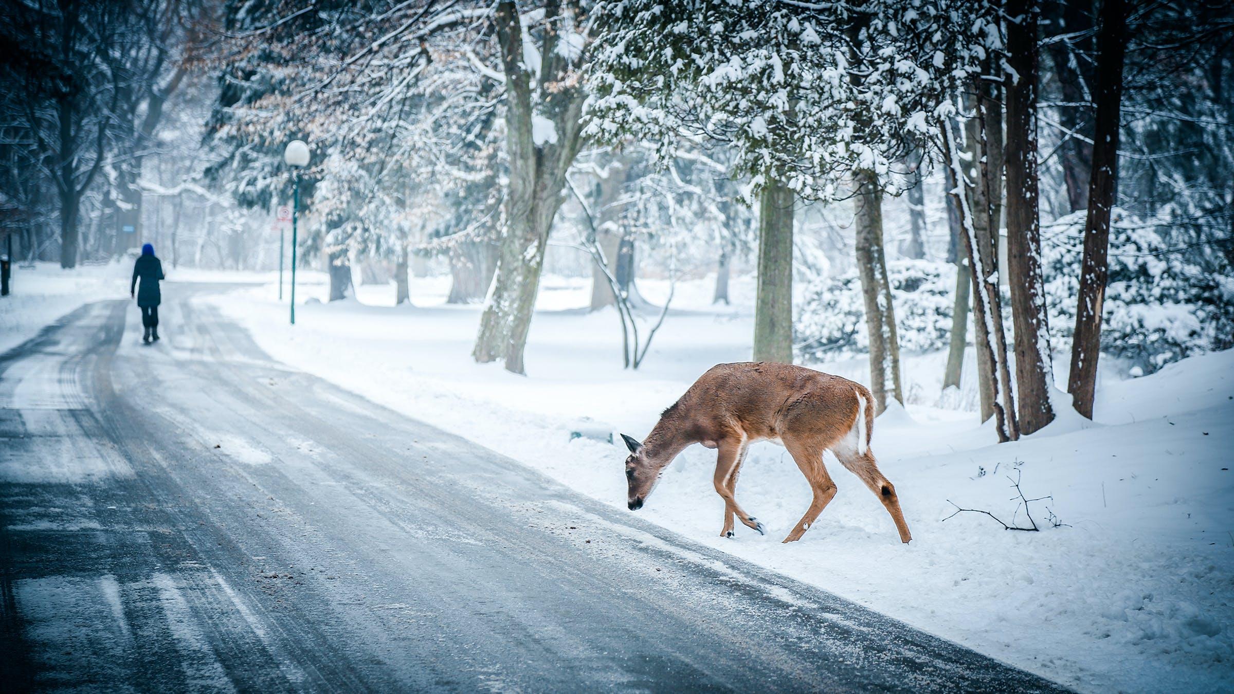 hirsch, schnee, straße
