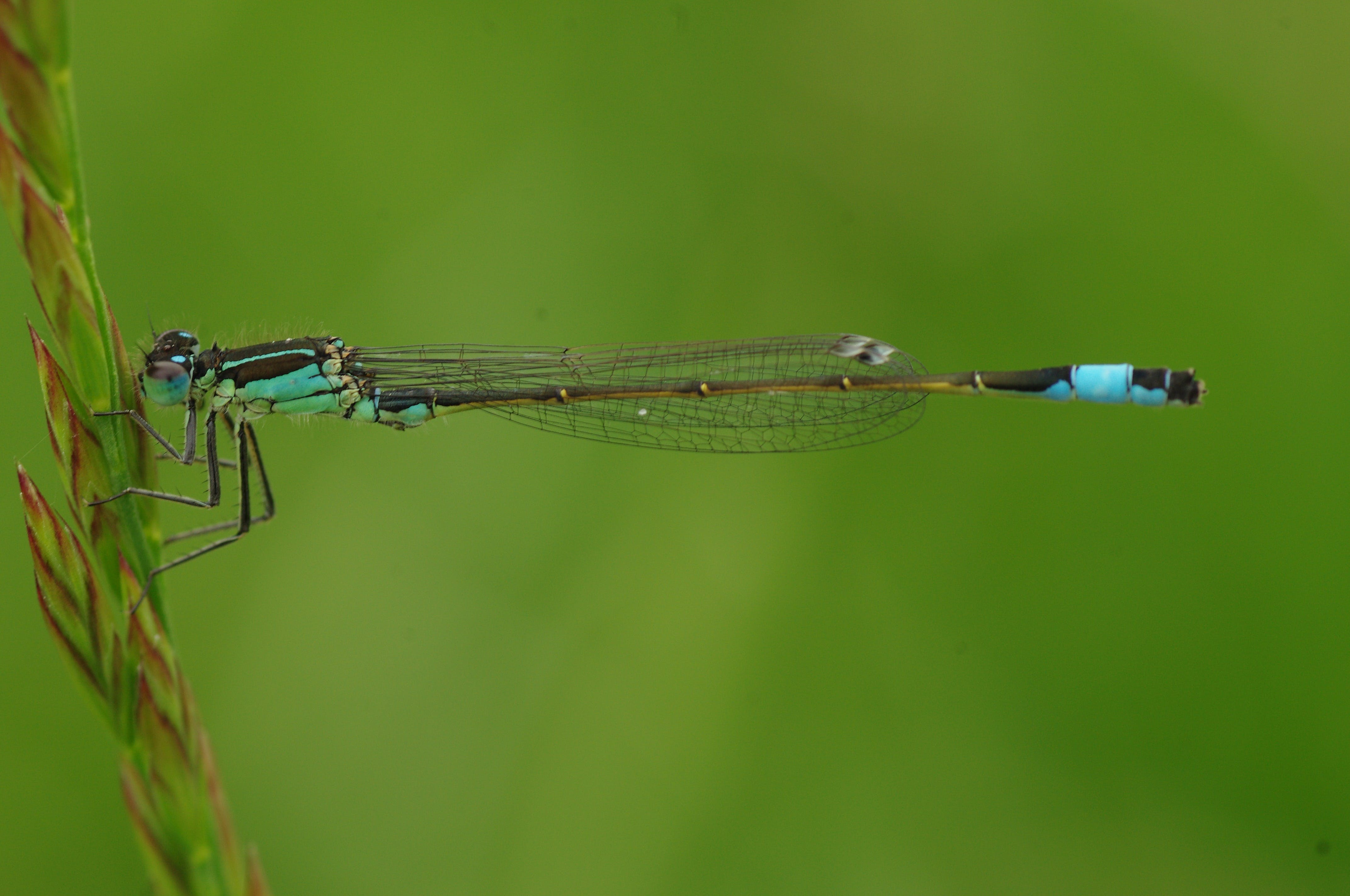 Macro Photography of Blue and Brown Dragonfly