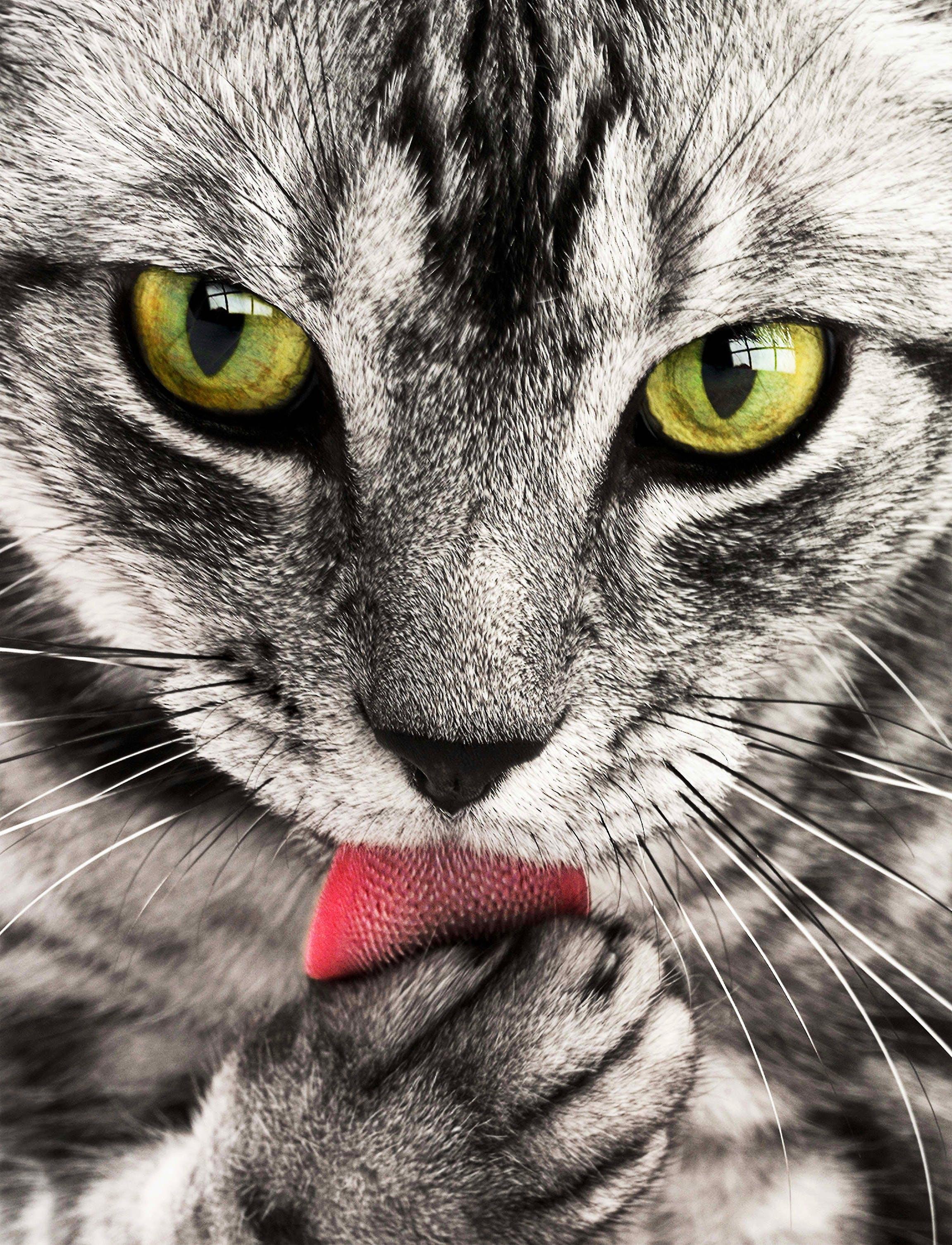 Kostenloses Stock Foto zu augen, gefleckt, haustier, katze