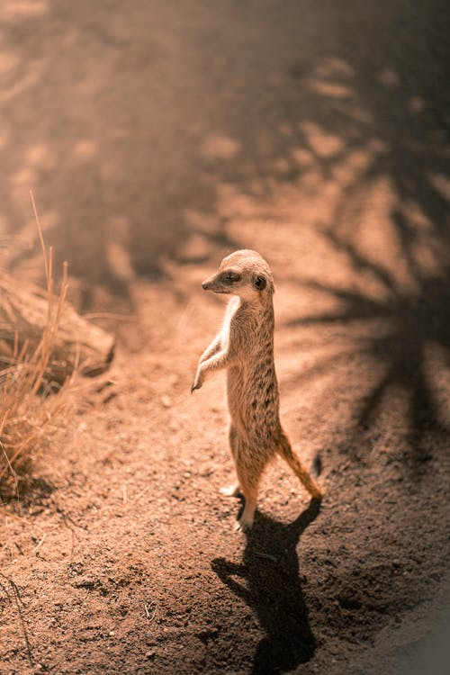 Meerkat Standing on Brown Ground