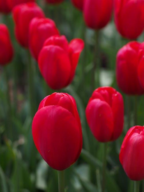 Foto d'estoc gratuïta de flora, flors, plantes, tulipa