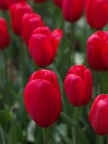 red, flowers, spring