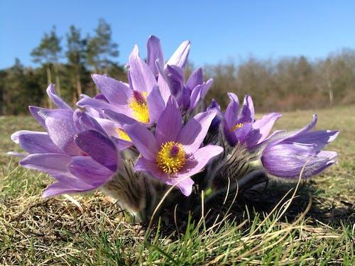 꽃, 보라색, 식물군, 펄 사틸라 그란데의 무료 스톡 사진
