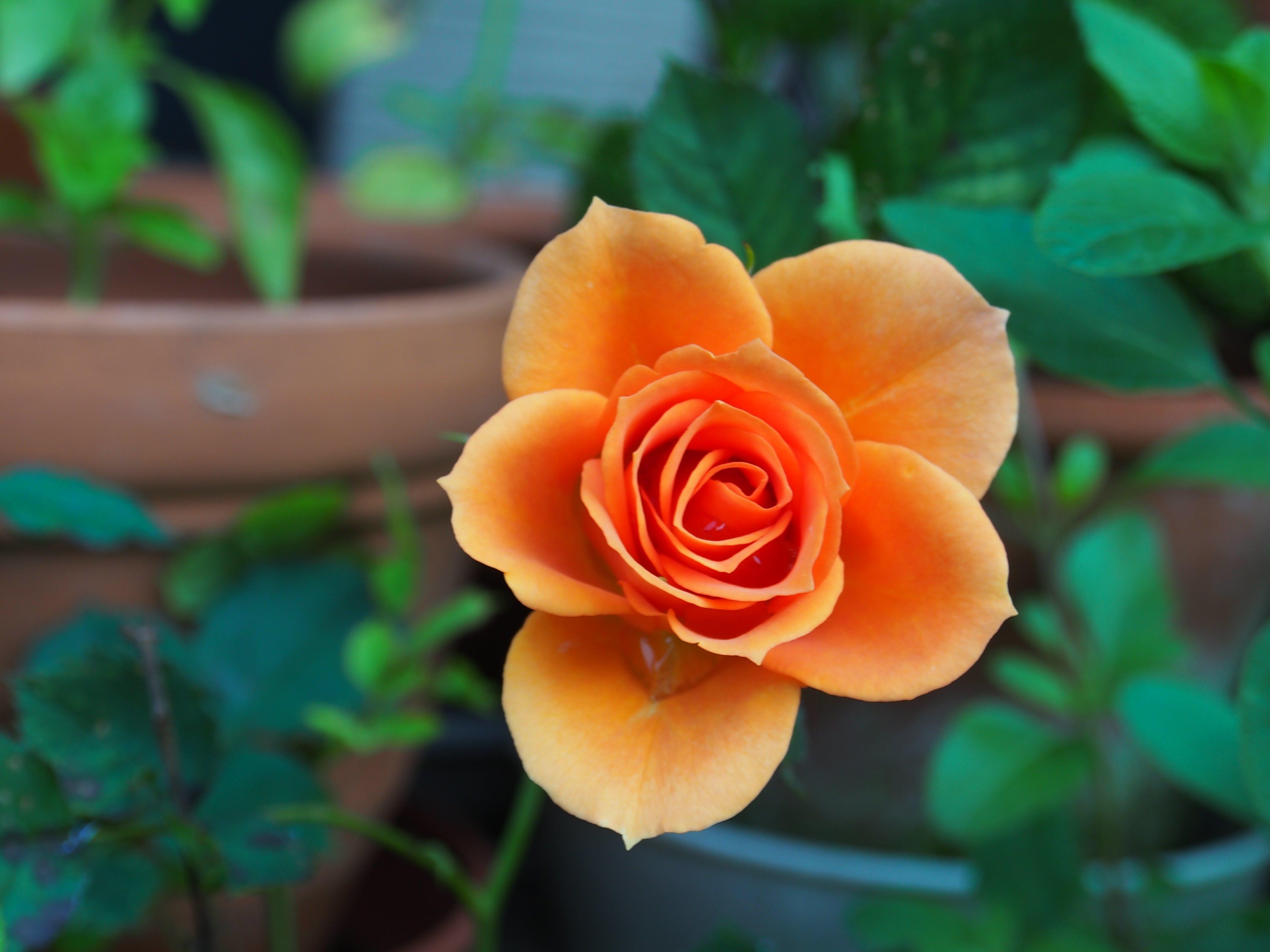 Gratis lagerfoto af blomst, close-up, flora, makro