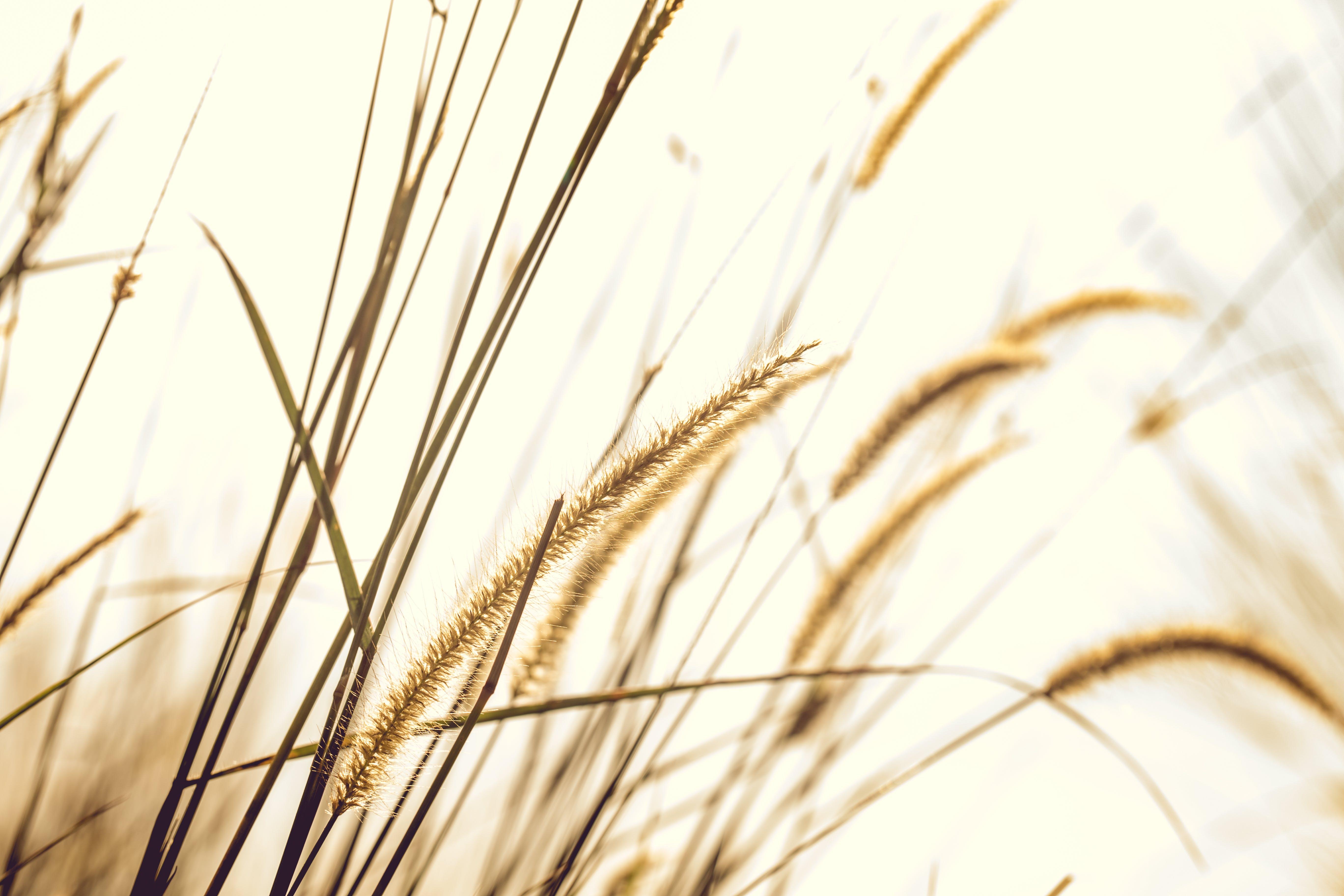 Brown Fountain Grass Closeup Photography