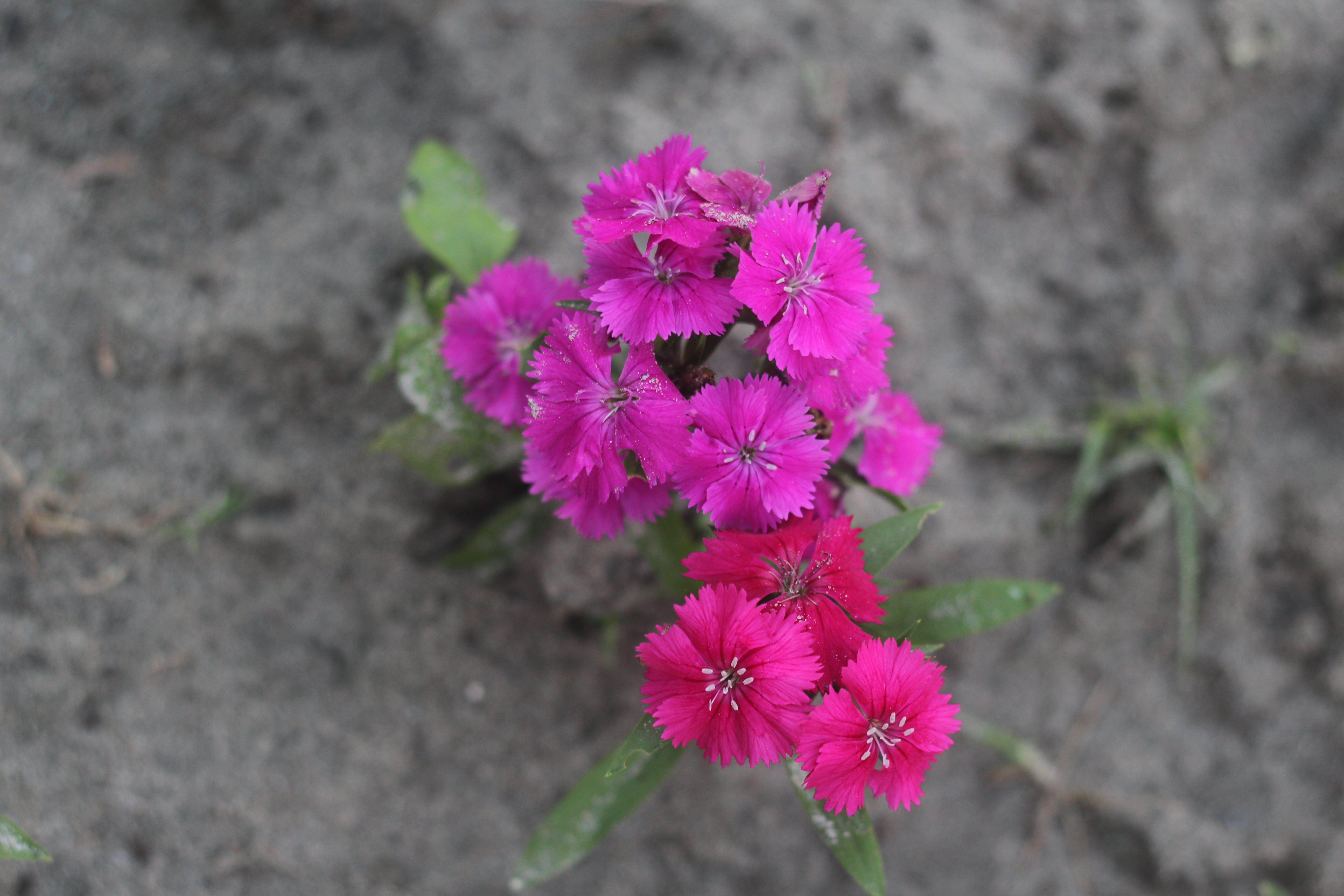 Free stock photo of purple flower, red flower