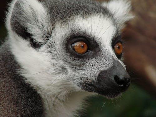 Δωρεάν στοκ φωτογραφιών με γκρο πλαν, ζώο, κοντινό πλάνο, λεμούριος