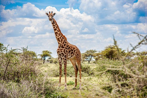 Giraffe Standing on Green Grass Field Under Blue Sky