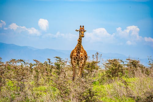 Giraffe Standing on Green Grass Field Under Blue Sky