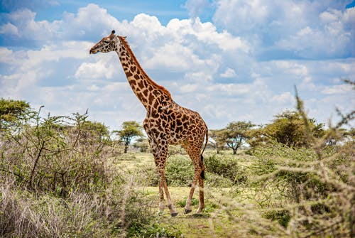 Brown Giraffe on Green Grass Field Under Blue and White Cloudy Sky