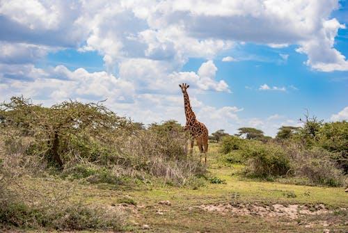 Free stock photo of africa, giraffa, giraffe