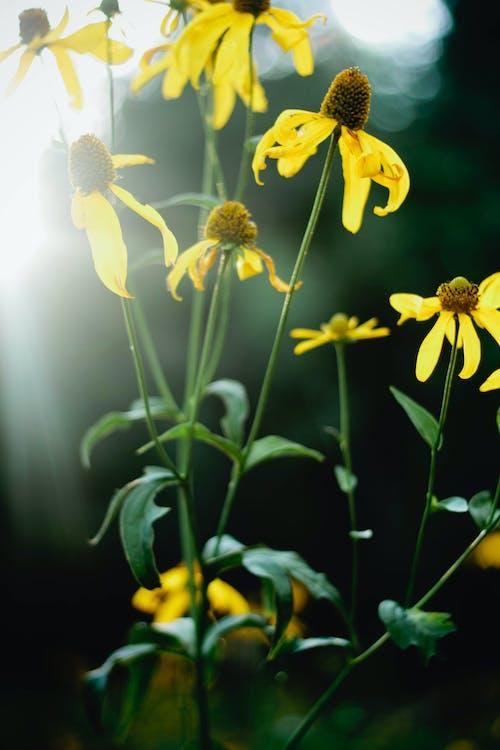 向日葵, 花, 花卉 的 免费素材照片