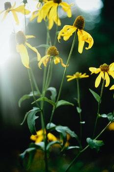 Free stock photo of flowers, sunflowers