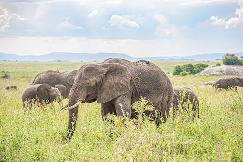 Herd of Elephants on Grassland