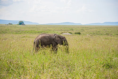 Free stock photo of adventure, africa, african elephant
