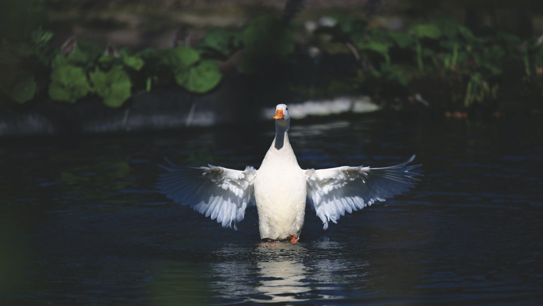 Ảnh lưu trữ miễn phí về cánh, con vật, Nước, Thiên nhiên